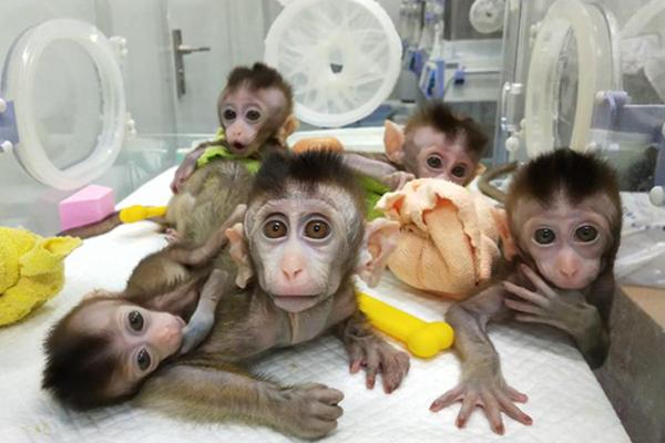 5只生物节律紊乱体细胞克隆猴诞生,攻克疾病模型猴的构建难题!