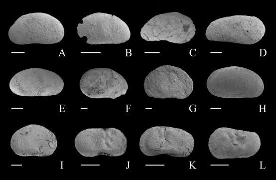 介形虫化石